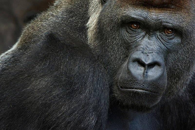 Критично застрашените западни равнинни горили са податливи на новия коронавирус. На 11 януари три от тях, в зоопарка в Сан Диего, са се оказали с поло...