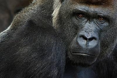 Горили в калифорнийски зоопарк с положителен тест за Covid-19