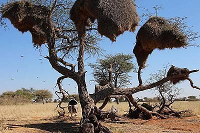 """""""Ядосани птици"""" строят най-големите гнезда в света"""