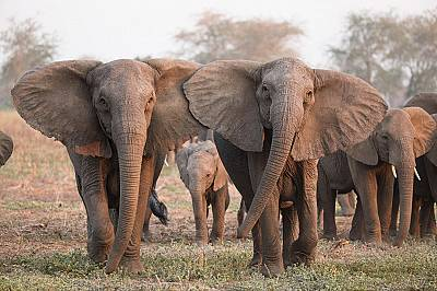 Слонове без бивни