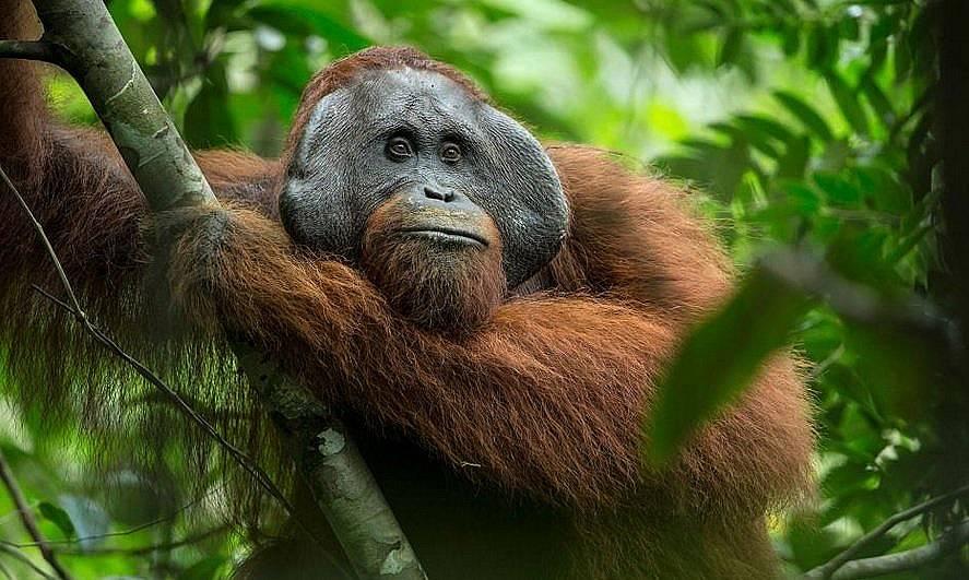 Критично застрашен борнейски орангутан Tim Laman, Nat Geo Image Collection