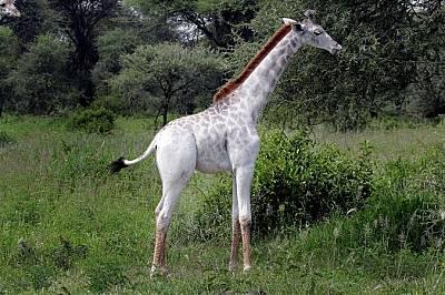 Бял жирафОмо, едногодишно бяло жирафче от вида Giraffa camelopardalis tippelskirchi, живее в националния парк Тарангире в Танзания.