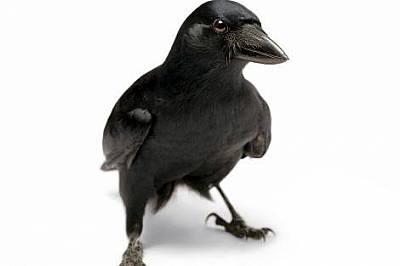 Corvus moneduloidesВидът Corvus moneduloides е от семейство вранови. Той може да решава задачи, да си прави и да използва сечива – белези за...