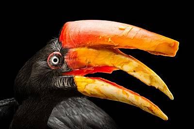 Bucerosrhinoceros Тези внушителни птици от семейство Птици носорози имат подобно на шлем образувание, което усилва подобните на крясъци звуци, които и...