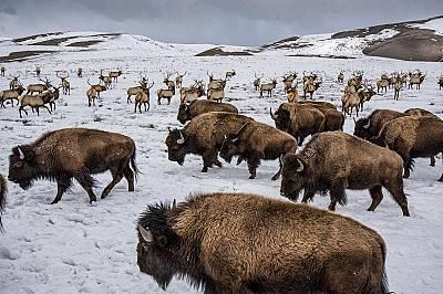 Бизони сред лосове в Националния резерват край Джаксън, Уайоминг.В края на 19 век бизоните били почти изчезнали, но сега се завръщат отново.
