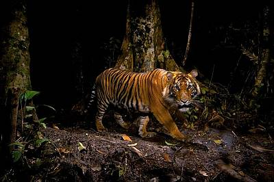 Силата и красотата на тигрите - галерия