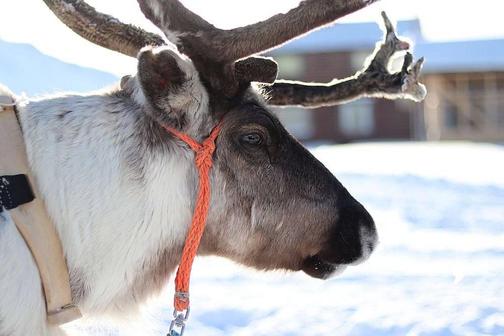 Най-ценното нещо, което имат саамите са северните елени
