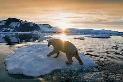 Белите мечки са обявени за уязвим вид
