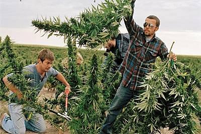 Събират марихуана за продажба в страни, легализирали медицинската им употреба или употребата за развлечение.