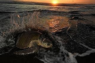 Морските костенурка от вида Маслинова ридлея излизат на брега всеки месец, за да снасят яйца
