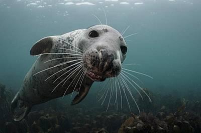 Дългомуцунест тюленДългомуцунест тюлен във водите на Великобритания.