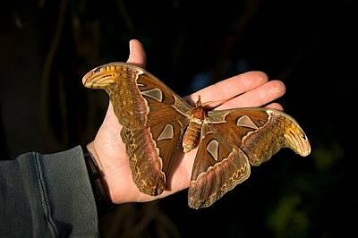 Пеперуда атласНощната пеперуда атлас има най-големите по площ криле от всички насекоми.