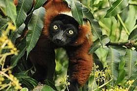 """Червен гривест лемурЛемурите от Мадагаскар надават викове, които наподобяват гласовете на """"призраци или духове обитаващи гората"""",..."""