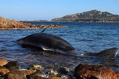 Бременен кит умря с 23 килограма пластмаса в стомаха си