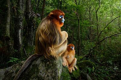 """Чипоноси маймуниХоландският фотограф Марсел ван Оостен печели голямата награда """"Природен фотограф на годината"""" на Лондонския приро..."""