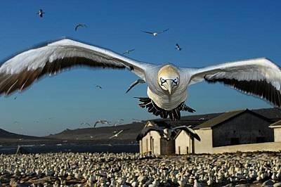 Птица каца на остров МалгасТази птица от вида Morus capensis се кани да кацне на остров Малгас, Южна Африка. Фотографът Томас Пешак прекарал...