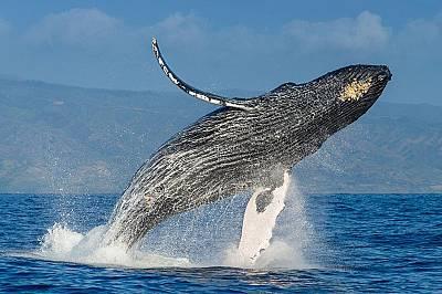 Гърбат кит скача във въздуха над Тихия океан.