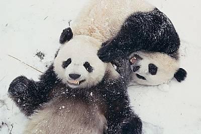 Живот върху снега - 15 класически снимки на животни