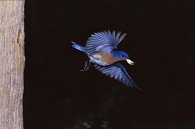 Птица от вида Sialia sialis излита от гнездото, за да изхвърли акитата на малките.