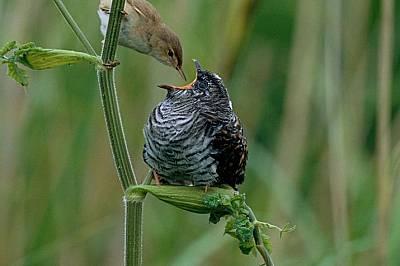 Блатно шаварче храни малко кукувиче. Родителите са оставили яйцето в гнездото на шаварчето, за да го отгледа като свое.
