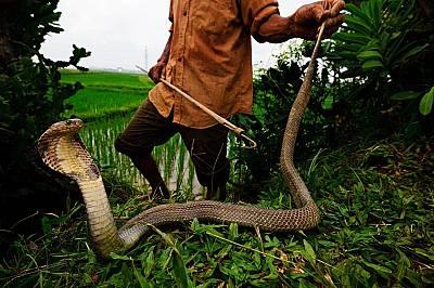 Ловец на змии хваща кралска кобра във Виетнам. Едно ухапване от тази змия съдържа достатъчно невротоксини, че да убие 20 души.