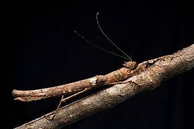 Насекомо пръчица в Борнео, Малайзия