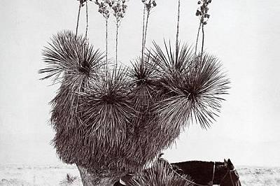 В пустинятаЮка в пустинята Тулароса, Ню Мексико. Снимката е направена през 1904 г.