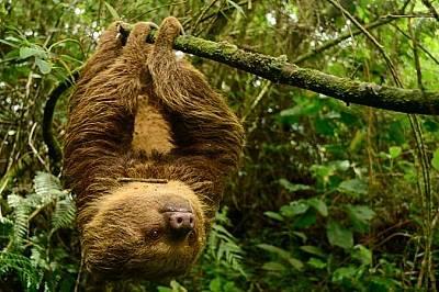 Хофманов ленивец, Колумбия