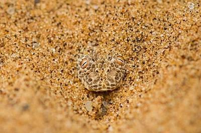 Bitis peringueyi. Пустиня Намиб, Намибия