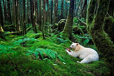 """Мечка """"дух""""Кермодската мечка е всъщност бяла черна мечка – разновидностна северноамериканската черна мечка, която живее в горите н..."""