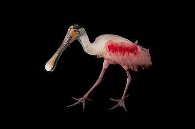 Розова лопатарка   Тази колоритна птица използва човката си като щипка за салата, за да погълне плячката си.