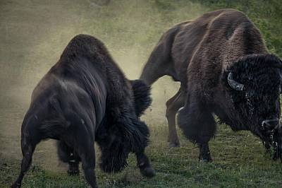 Бизони се съревновават в долината Ламар в ЙелоустоунТези борби се случват между юли и август по време на брачния сезон, когато мъжките искат да покажа...
