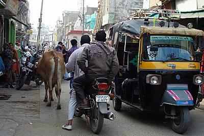 Пътищата споделяме и със свещените крави