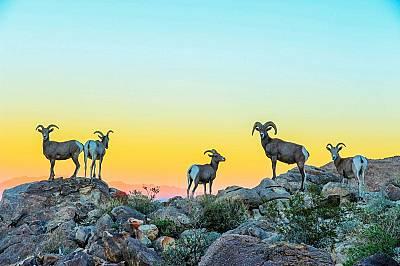 """Национален парк """"Джошуа Трий"""", Калифорния, САЩКустаб Кулкарнъ спечели второ място с тази снимка на дебелороги овни в калифорнийския национал..."""