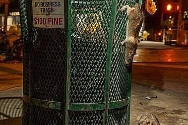 Ужас: Гладните плъхове излизат на открито