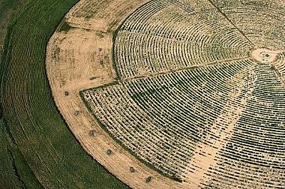 Нива с марихуана източно от ДенвърМарихуана расте на напоявано поле източно от Денвър, дискретно прикрита между редове царевица. Тази култура е коноп&...