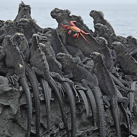 Морски игуани на остров Галапагос Морските игуани на остров Галапагос са застрашени от глобалното затопляне.