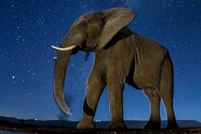 СлонМакар слоновете да са активни предимно през деня често се случва да си почиват през горещите следобеди и да търсят храна и вода вечер. Този мъжки...