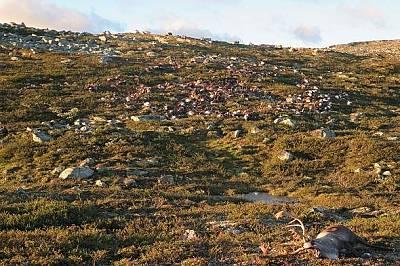 В парка, където са загинали животните, живеят между 10 000 и 11 000 северни елени.