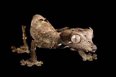 Сатанински листоопашат гекон (Uroplatus phantasticus) в Хюстънския зоопаркТези същества не са опасни, но умеят майсторски да се крият в изобилстващите...