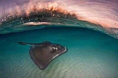 СкатТози вид скат, Dasyatis Americana, се среща на Каймановите острови. Туристите, които идват тук, им хвърлят сепии от лодките и рибите вече асоциира...