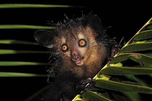 Ай-айОчите на изчезващите мадагаскарски ръконожки, вид нощни лемури, които използват подобен на вещерски среден пръст да търсят насекоми, са страшни....