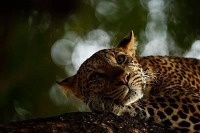 """Леопард в резервата Шестнайсетгодишният Скай Мийкър печели наградата за млад фотограф категория """"Природа"""" с тази снимка на леопард..."""