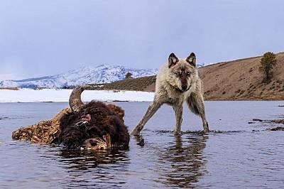 Вълк позира за снимкаВълк позира за снимка преди да започне да пирува с богатата плячка - бизон, който се е удавил в река Йелоустоун.