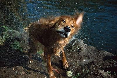 Голдън ретрийвър тръска козината си след като е плувал. На едно куче са му необходими около 4 секунди, за да изтърска 70 процента от водата по тялото...