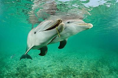 Тези делфини афали (Tursiopstruncatus) в Роатан, Хондурас са полу-пленници – придвижват се между голямо ограждение и открито море и са включ...