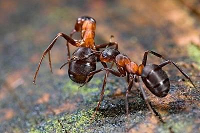 Мравка от вида формика носи тялото на мъртъв другар, за да го изхвърли извънколонията. Снимка: blickwinkel, Alamy Stock Photo