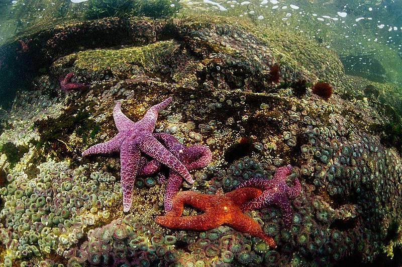 Морската звезда не притежава сърце. Снимка: Пол Никлин, National Geographic