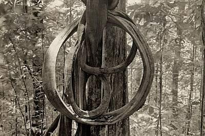 Увивно растениеСнимката е направена в Сарауак, Малайзия, на остров Борнео.