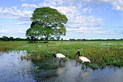 Пантанал, БразилияПриродата в Пантанал е наистина екстравагантна, особено от юли до август, когато могат да се видят хиацинтов ара и щъркелът ябиру.